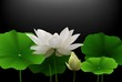 White Lotus flower with green leaves on black background