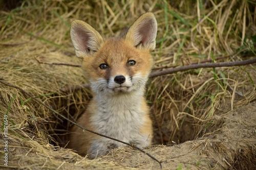 Fuchswelpe schaut aus dem Bau Poster