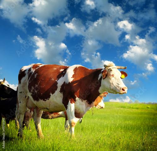 Aluminium Cows grazing on pasture
