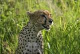 Gepard i Tanzania