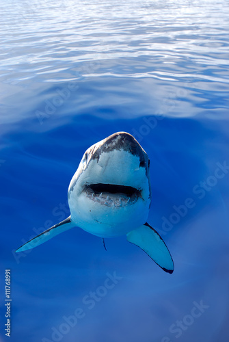 Poster Great White Shark in the depth