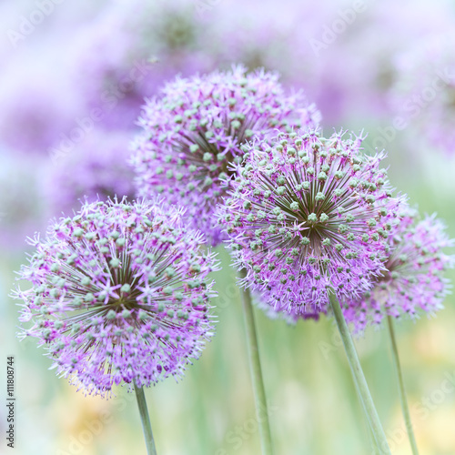 Purple Garlic Flowers - 111808744
