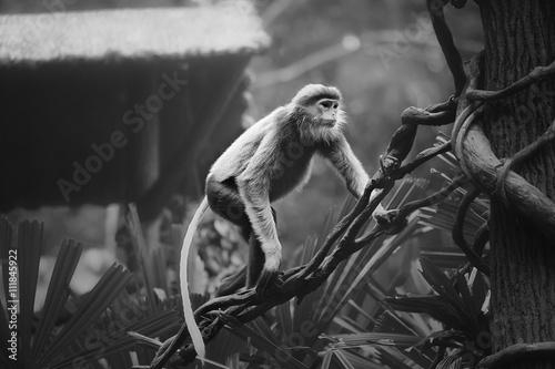 Monkey with orange face, Douc Langur © boule1301