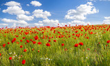 Maki polne-kwiaty,kolor selektywny - 111857550