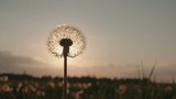 Blowing Dandelion Seeds,slow motion
