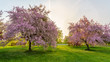 Pink blossom trees