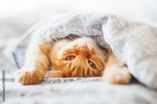 Fototapeta Cute ginger cat lying in bed under a blanket. Fluffy pet comfortably settled to sleep. Cozy home background with funny pet.