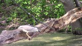 This video is about a Black Capped Night Heron