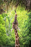 Giraffe reaching for leaves with tongue
