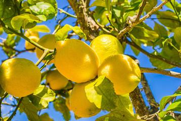 fototapeta drzewo ze świeżych cytryn