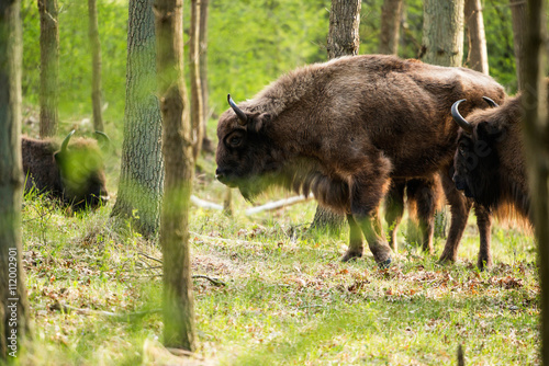 Side view of bison walking in forest
