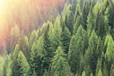 Magic forest lit by the sunlight. Coniferous forest region.