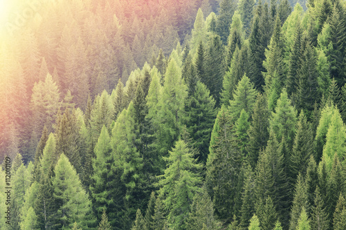 Magic forest lit by the sunlight. Coniferous forest region. - 112010109