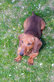 dachshund dog brown