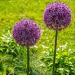globular flowers