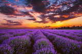 Fototapety Lavender flower blooming fields in endless rows. Sunset shot.