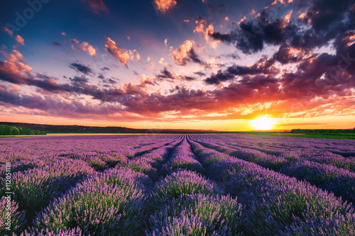 Keuken foto achterwand Bestsellers Lavender flower blooming fields in endless rows. Sunset shot.
