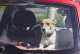 Fototapety Dog Jack Russell Terrier