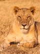 Wild African Lion