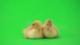 little ducklings on the green screen