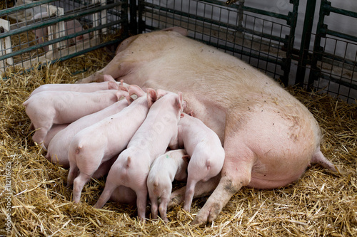 Fototapeta Sow with piglets nursing