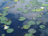 睡蓮と水面に写った初夏の空