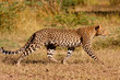 Leopard hunting in the wild