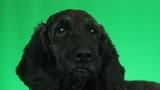 muzzle dog on green screen