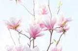 Magnolia, fiore della Magnolia
