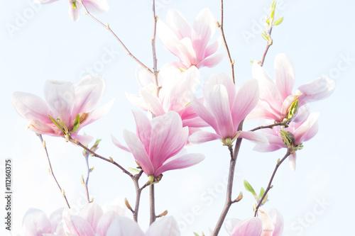 Magnolia, fiore della Magnolia - 112160375
