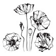 Poppy, isolated elements for design on a white background.  Vector illustration.
