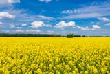 Blühender Raps zur Rapsblüte auf dem Rapsfeld mit blauem Himmel
