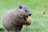 Very young groundhog is holding a carrot with mouth open at slight angle