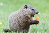 Very young groundhog is holding a carrot with mouth open wide