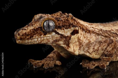 Foto op Plexiglas Krokodil Closeup Gargoyle Gecko, Rhacodactylus auriculatus in profile, staring Isolated on black background. Native to New Caledonia