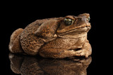 Fototapety Cane Toad - Bufo marinus, giant neotropical or marine toad Isolated on Black Background