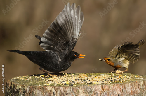 Poster Robin and blackbird on a tree stump feeding