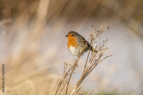 Poster Robin, redbreast, Erithacus rubecula, perched on dry grass
