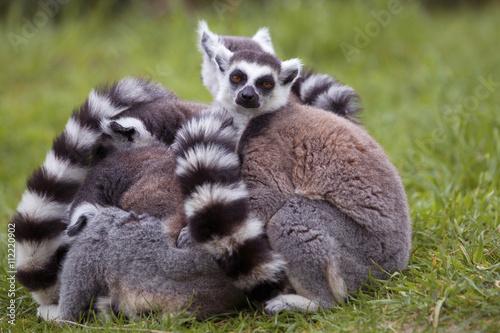 Poster Lemur