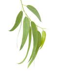 Fototapety fresh eucalyptus leaves