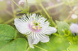 Romantic nature wild grass flower,Passiflora  with rain drop, gentle amazing white flower shape in nature for background