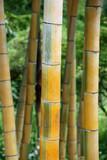 Bambou jaune et vert au parc d'Ueno à Tokyo, Japon
