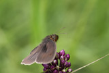 Furry butterfly that is sitting on a purple flower. Top view