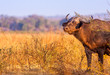 Wild African Cape Buffalo in South Luangwa National Park