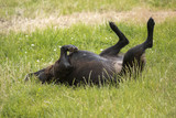 rolling dog (black dog) female dog