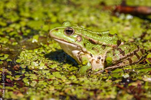 fototapeta na ścianę Common swamp frog