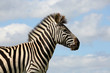 Wild Zebra and Cloudy Skies