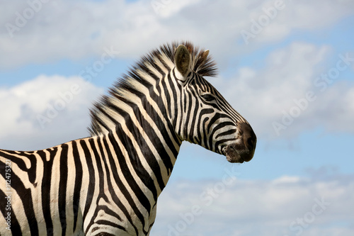 Wild Zebra and Cloudy Skies Poster
