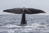 sperm whale his tail above the water when the water immersion