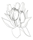 Tulips - 112548750